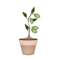Unripe Almonds on Tree in Ceramic Flower Pots vector image