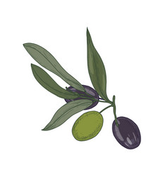 olive or olea europaea tree branch or sprig with vector image