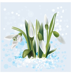 Snowdrop in snow vector