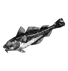 Cod america vintage engraving vector image