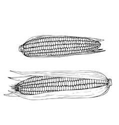 hand drawn corn cobs vector image