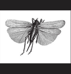 vintage engraving an insect vector image