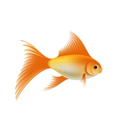 Gold aquarium fish vector