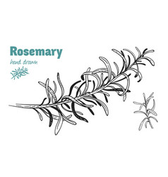 Rosemary twig hand drawn vector