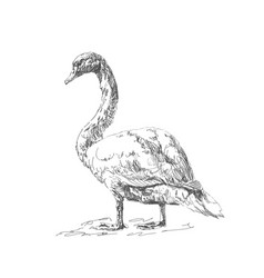 with swan hand drawn doodle vector image