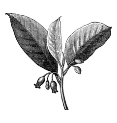 Nutmeg vintage engraving vector image vector image