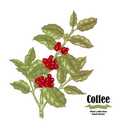 hand drawn coffee branch with berries and leaves vector image