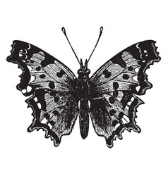 The comma butterfly vintage vector