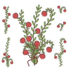 Colored with branches of cranberries vector