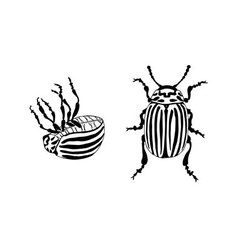 Potato bug leptinotarsa decemlineata vector