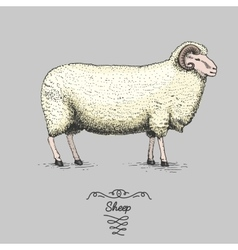 Sheep engraved hand drawn in vector