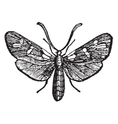 Six spot burnet moth vintage vector