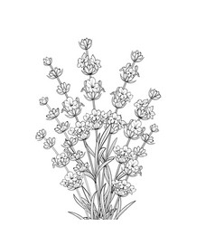 bouquet of lavender flowers vector image