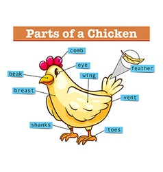 Diagram showing parts of chicken vector image