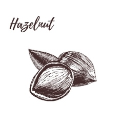 Hazelnut in hand-drawn style vector