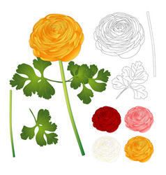 Red pink white yellow ranunculus flower and vector