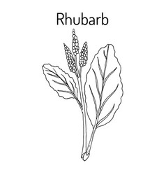 Rhubarb rheum rhabarbarum culinary and medicinal vector