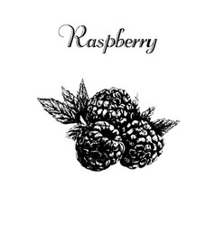 hand drawn vintage isolated raspberry vector image vector image