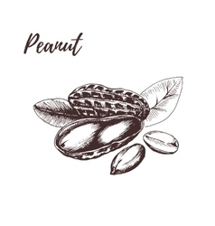 Peanut hand drawn sketch in vector image vector image