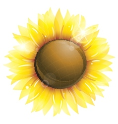Beautiful sunflower isolated on white vector image vector image