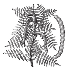 Honey Mesquite vintage engraving vector image vector image