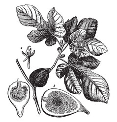 Ficus carica fig with fruit and leaves vintage vector