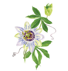 watercolor passion flower branch vector image vector image