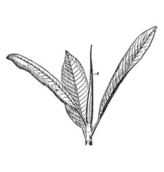 Indian rubber fig ficus elastica shoot vintage vector