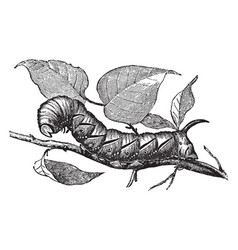 Larva of privet hawk moth vintage vector
