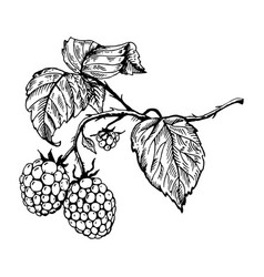 raspberry engraving vector image vector image