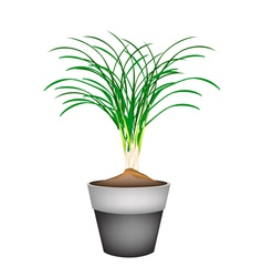 Lemon grass plant in ceramic flower pots vector