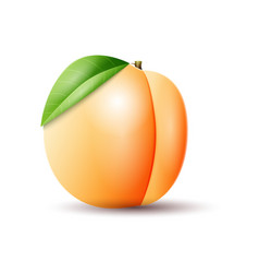apricot on white background vector image