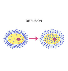 diffusion across cell membranes vector image