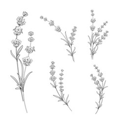 Set of lavender flowers vector