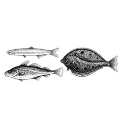 river and lake fish atlantic cod anchovy and vector image