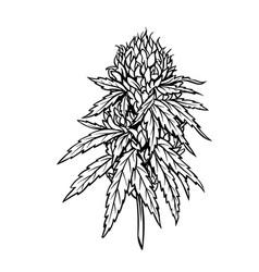 Marijuana mature plant with leaves vector