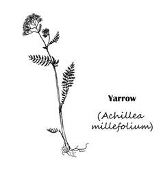 achillea millefolium yarrow vector image