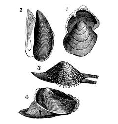 Mollusk vintage engraving vector