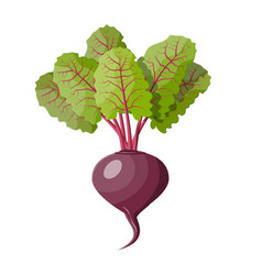 beetroot with top leaves beet vegetable vector image