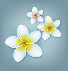 White plumeria flowers vector
