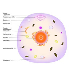 Animal cell vector