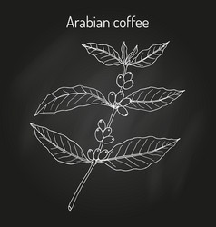 coffee tree branch vector image