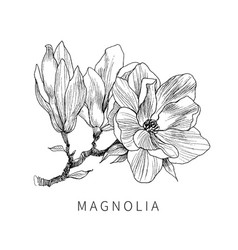 Ink pencil the leaves and flowers of magnolia vector