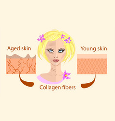 Skin aging diagrams young skin is firm tight its vector
