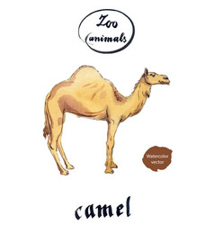Arabian dromedary camel vector