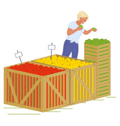 girl putting apples wooden boxes image vector image