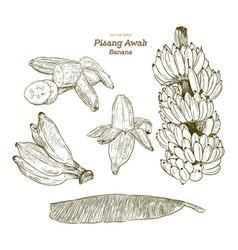 set of pisang awak banana hand draw sketch vector image