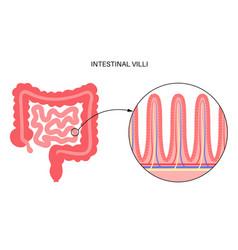 Intestinal villi anatomy vector