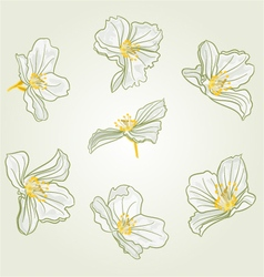Jasmine flowers isolated vector image