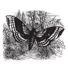 Larva of the poplar hawk moth vintage vector